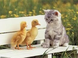 trop mignon petit chaton photo chaton et petit canard